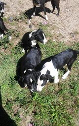 Free Mutt Pups in Conroe, Texas