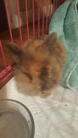 LTB harlequin lop, mini lop, or lion lop doe in Leesville, Louisiana