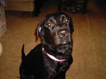 Female Lab/Rot Mix approx. 3 years old in Ottumwa, Iowa