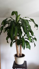 Large house plant with pot in Ramstein, Germany