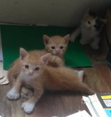Hemingway (Polydactyl) Kittens in Fort Polk, Louisiana