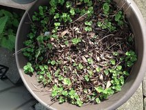 Mint plants in Glendale Heights, Illinois