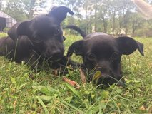 Female wiener pup mix in Liberty, Texas