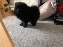 Cute Pomeranian Puppies for addoption in Los Angeles, California