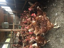 Red sexlink Laying hens in Camp Lejeune, North Carolina