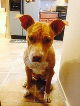 Sweet Pit Bull in Fort Bliss, Texas