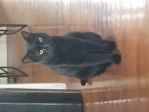 Cat male free in Chicago, Illinois