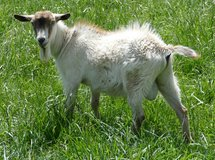 POLLED (naturally hornless) PYGMY GOAT BUCK - 1 year old in Fort Leonard Wood, Missouri