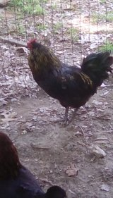 Ameraucana mixed rooster in Perry, Georgia