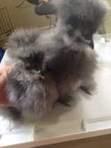 Silkie  chickens in Beaufort, South Carolina