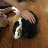Two Guinea pigs in Bartlett, Illinois