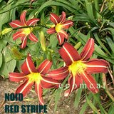 RED SPIDER DAYLILIES, In Pots in Naperville, Illinois