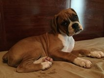 BOXER PUPPY in Fort Riley, Kansas