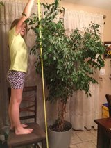 Ficus House Plant - Real. 6 ft tall in Fort Leonard Wood, Missouri
