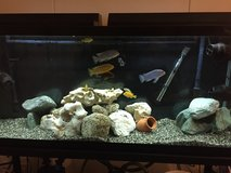 55 Gallon Fish Tank w/ accessories & African Cichlid fish in Okinawa, Japan