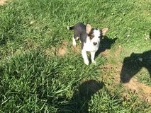 puppy's!! in Fort Campbell, Kentucky