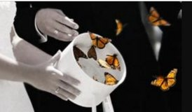 LIVE Monarch Butterflies for release at special event in Kingwood, Texas
