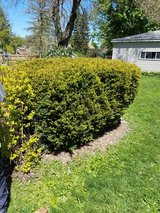 2 large evergreen bushes in Naperville, Illinois