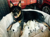Blue Heeler Puppies in Mobile, Alabama