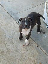 Loveable pitbull in Yucca Valley, California