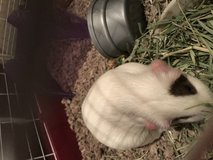 Guinea pig and house in Lawton, Oklahoma
