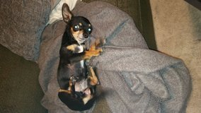 Mixed Chihuahua in Fort Carson, Colorado