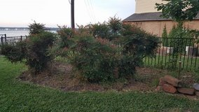 Clumping Nandina shrubs in Kingwood, Texas