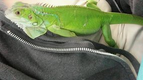 Green iguana and cage in Yucca Valley, California