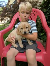 AKC Labrador Puppies for sale in Barstow, California