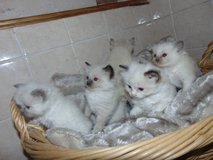 Gccf Registered Ragdoll Kittens Devido !!!!!! call 929x399x6371 in Conroe, Texas