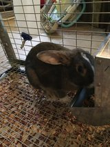 Young Pet Bunny Needs a Home (cage included) in bookoo, US