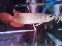 Live Arowanas for adoption at affordable prices in Birmingham, Alabama