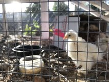 Coop ready chicks to good home only in Travis AFB, California