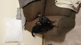 Free 5 mo Chihuahua mix in Fort Carson, Colorado