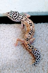 2 Geckos with everything!! in Beaufort, South Carolina