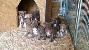 Pitbull puppies in bookoo, US