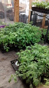 PLANTS:  $3 Tomatoes/ Peppers, Perennials/ Herbs/ outside Succulents in Fort Carson, Colorado