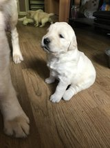 Golden Retriever Puppies in Birmingham, Alabama