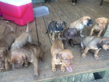 Free puppies in Fort Rucker, Alabama