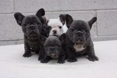 Nice French bulldog puppies free to good homes in Indianapolis, Indiana