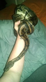 Male ball python in Perry, Georgia