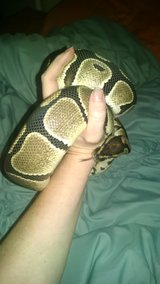 Female adult ball python in Perry, Georgia