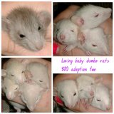 Loving baby Dumbo rats for adoption in Perry, Georgia