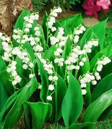 lilly of the valley plant with pot in Ramstein, Germany