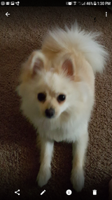 Female Pomeranian with papers in Fort Rucker, Alabama