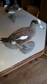 Various Taxidermy Ducks (Teal, Golden Eye, Wigeon, Red Head) in Naperville, Illinois