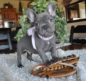 Akc Cute French bulldog puppies To Good Homes! in Indianapolis, Indiana