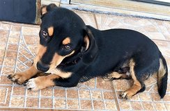 Free Dachshund Mix to a good home! in Fort Rucker, Alabama