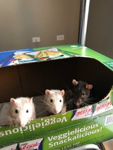 3 Beautiful Rats with cage - Looking for Loving Home!! in Lockport, Illinois