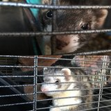 2 ferrets in Temecula, California